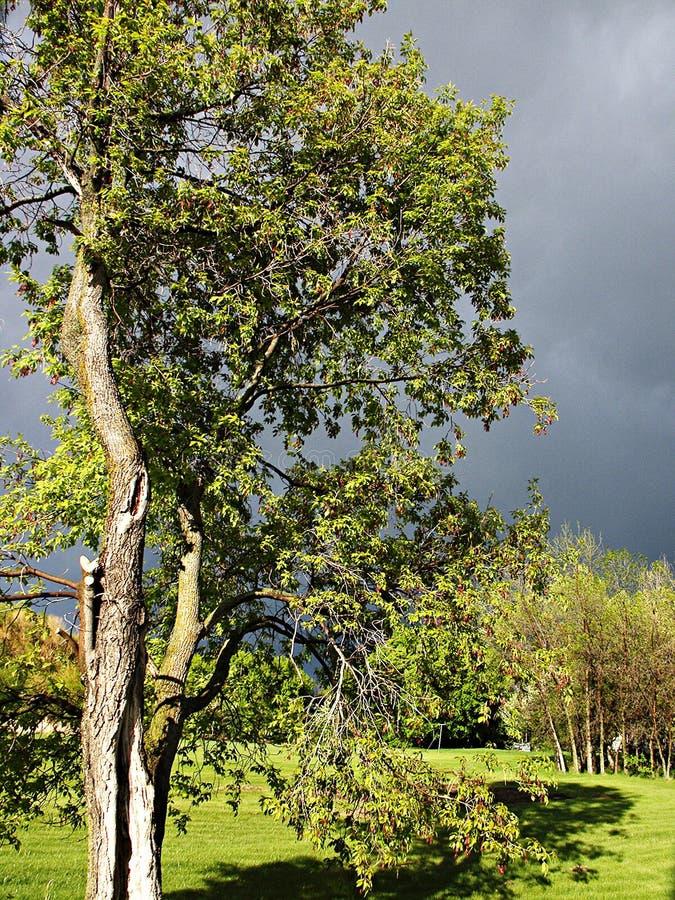 Download 明亮的结构树 库存照片. 图片 包括有 天空, 灌木, 扭转, 风暴, berrying, 白兰地酒, 结构树 - 62332
