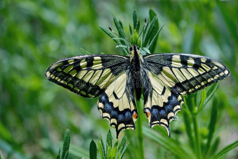 明亮的美丽的蝴蝶 Swallowtail蝴蝶, Papilio machaon 免版税图库摄影