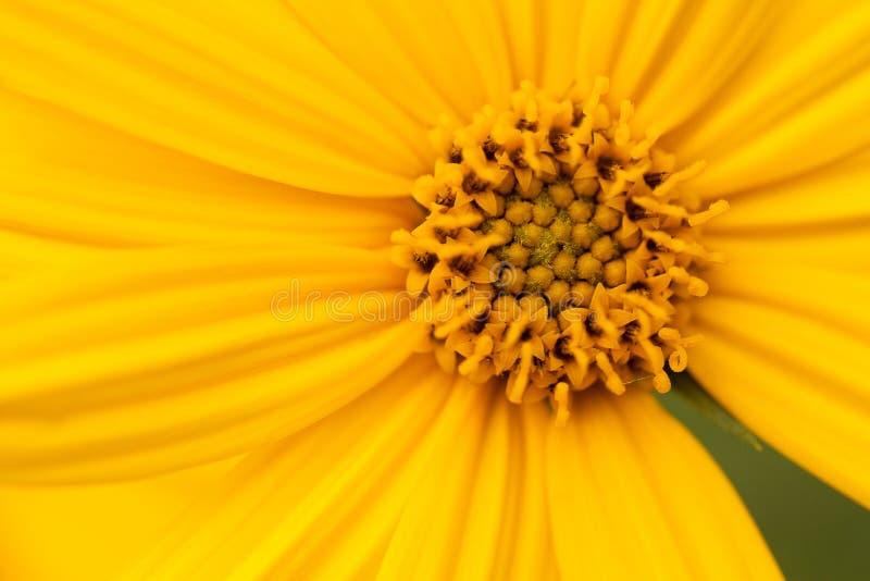 明亮的美丽的黄色洋姜花 库存图片