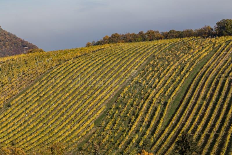 明亮的葡萄园种植园和绵延山在秋天Mont 免版税库存图片