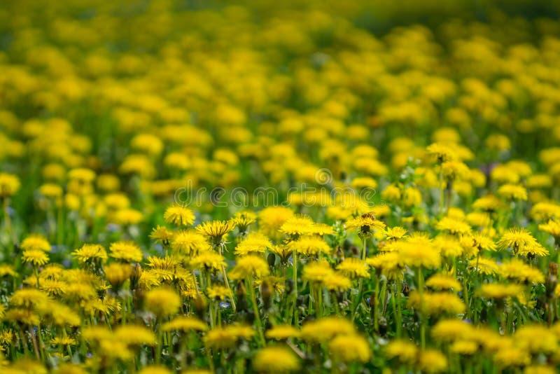 明亮的蒲公英在草甸春天 开花的黄色dande 免版税库存图片