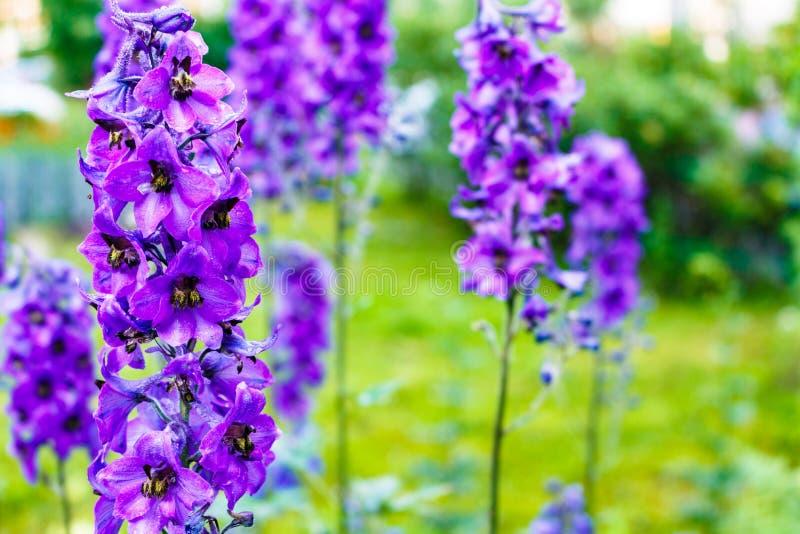 明亮的蓝色翠雀在村庄庭院里种植普遍的装饰物 库存照片
