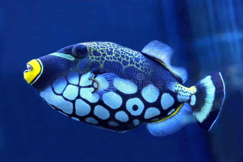 明亮的触发器鱼关闭  库存照片