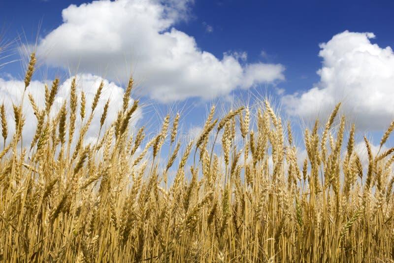明亮的金黄黄色麦子茎在深蓝天和云彩下 免版税库存图片