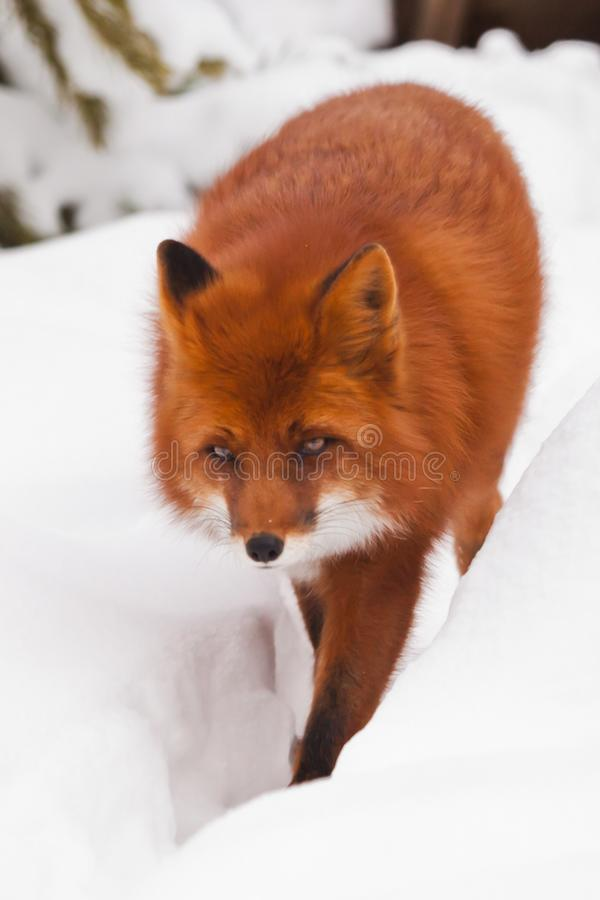 明亮的镍耐热铜是走,接近以雪为背景,严肃的神色在动物 免版税库存照片