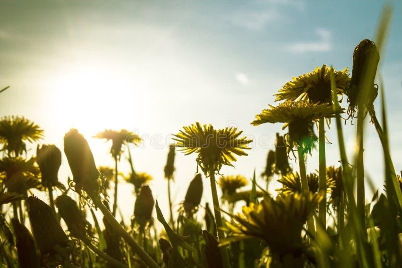 明亮的阳光的蒲公英草甸 库存照片