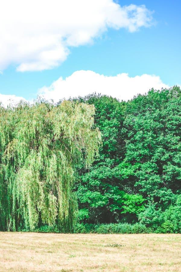 明亮的领域草甸树杉树天空覆盖拷贝空间 库存照片