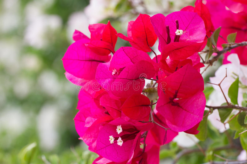 九六色成人影院_明亮的颜色九重葛纸花 紫罗兰色灌木