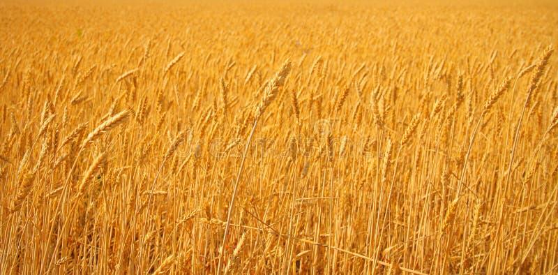 明亮的麦子 库存照片