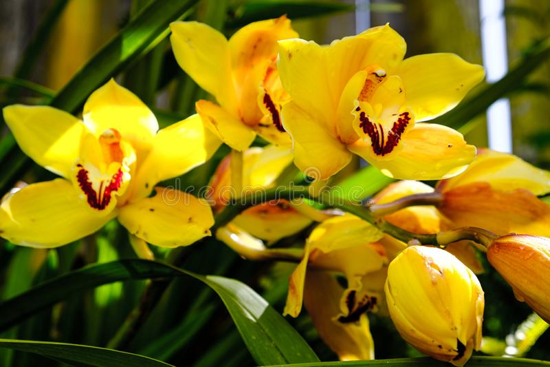 明亮的黄色兰花分支在庭院里 免版税库存照片