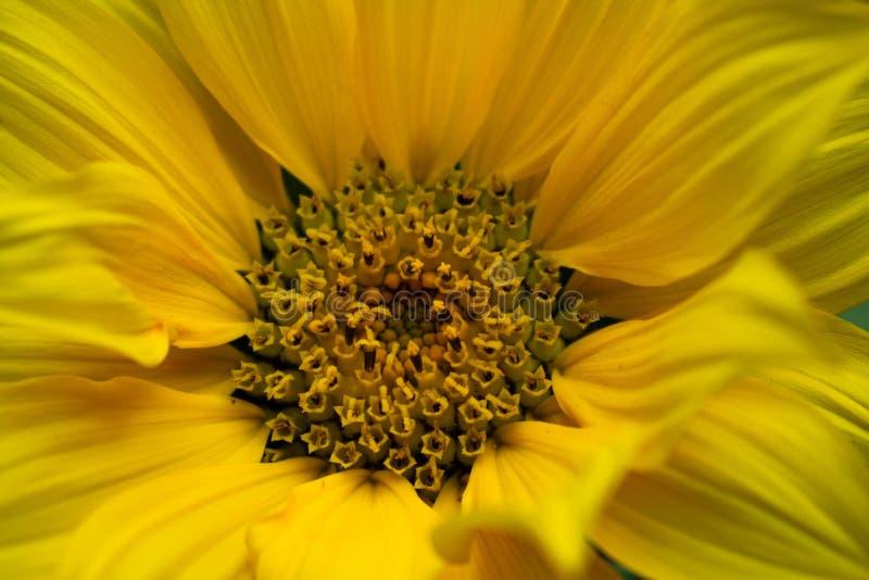 明亮的黄色向日葵极端特写镜头  免版税库存图片