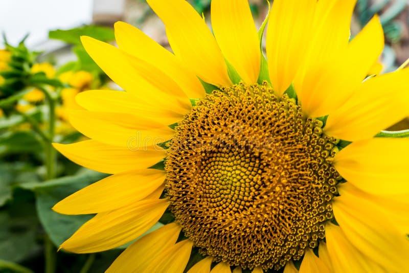 明亮的黄色向日葵的瓣和花粉特写镜头  免版税库存照片