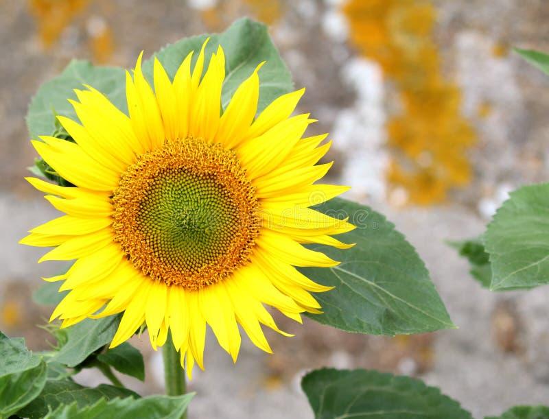 明亮的黄色向日葵花在庭院里 库存图片