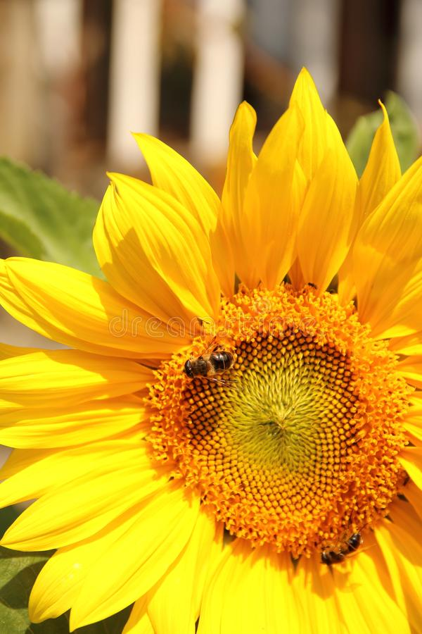 明亮的黄色向日葵花在有蜂的一个庭院里 图库摄影