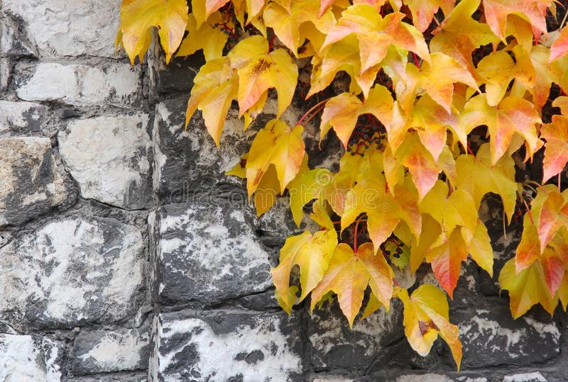 明亮的黄色和橙色常春藤在一个老石墙离开 秋天背景特写镜头上色常春藤叶子橙红 免版税图库摄影