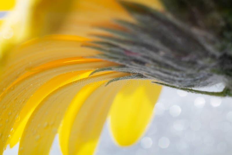 明亮的黄色大丁草花瓣和细节在轻的背景的与闪闪发光 库存图片