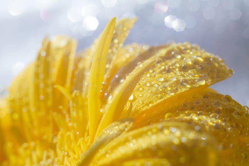 明亮的黄色大丁草花瓣和细节在轻的背景的与闪闪发光 库存照片