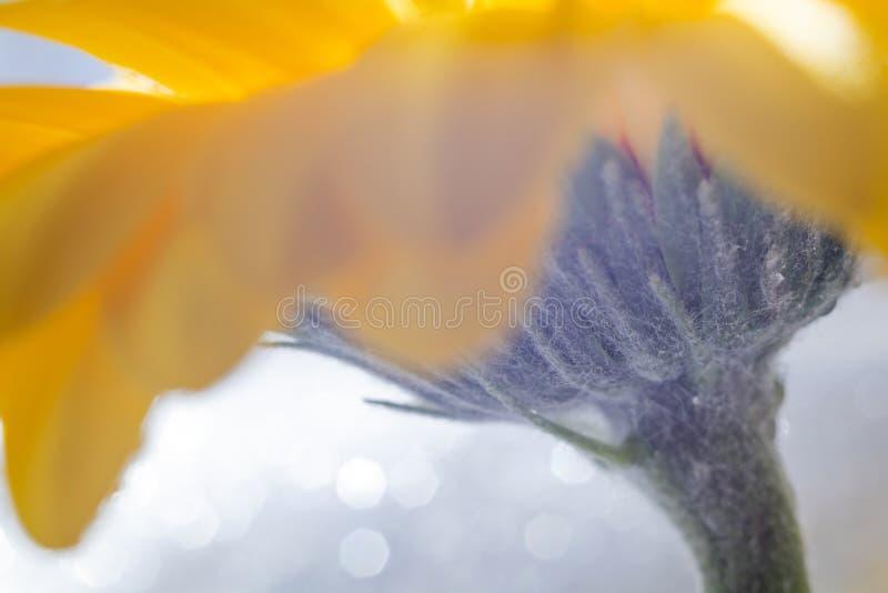 明亮的黄色大丁草花瓣和细节在轻的背景的与闪闪发光 免版税库存图片
