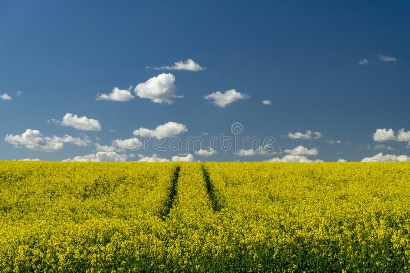 明亮的黄色油菜籽或菜子的花田 库存图片