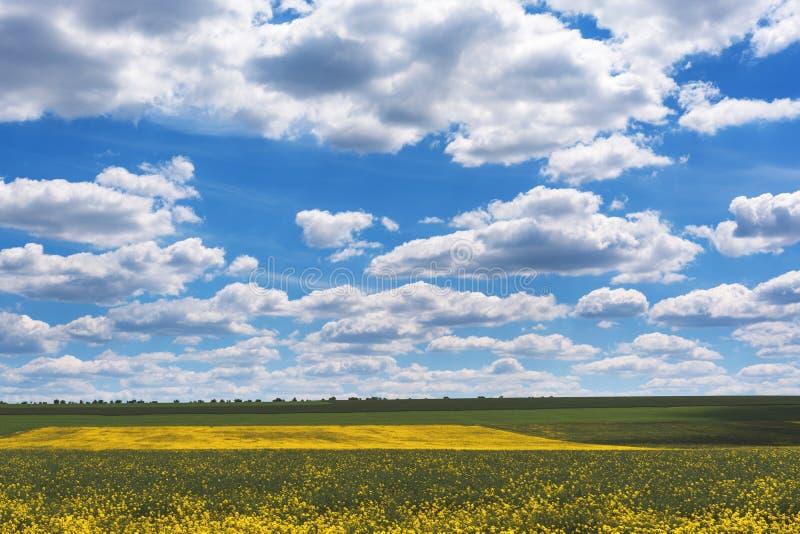 明亮的黄色油菜籽的领域在春天 油菜籽芸苔napus含油种子强奸 免版税图库摄影