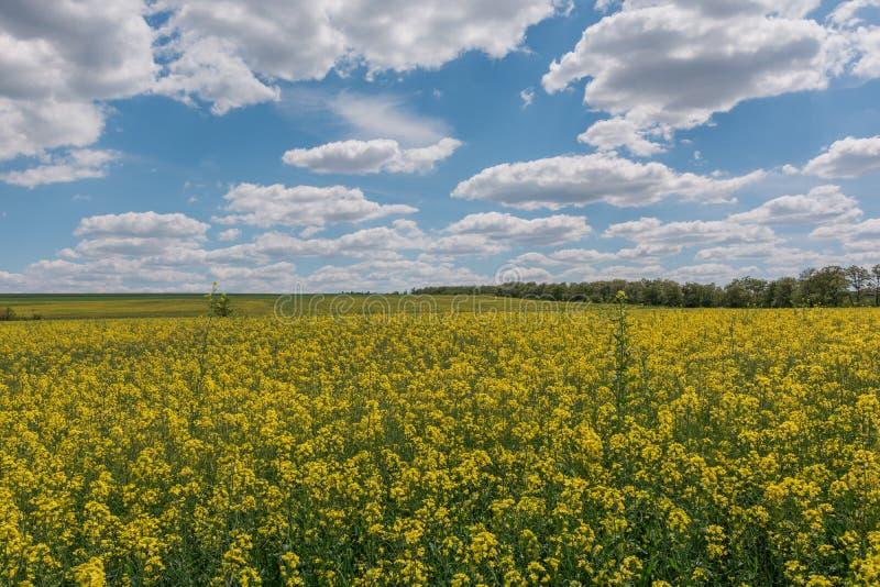 明亮的黄色油菜籽的领域在春天 油菜籽芸苔napus含油种子强奸 库存图片