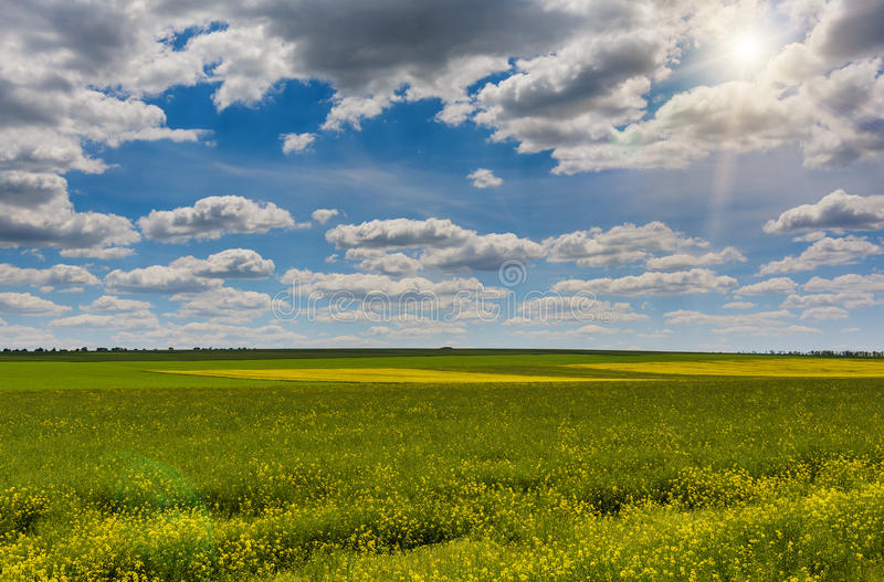 明亮的黄色油菜籽的领域在春天 菜子油种子强奸 免版税库存图片