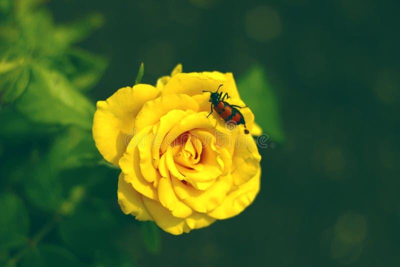 明亮的黄色玫瑰在庭院里 库存照片