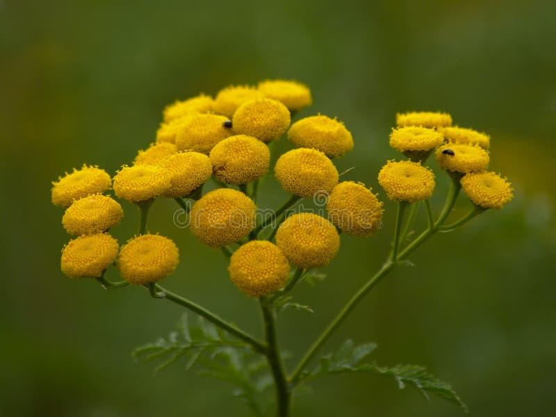 明亮的黄色艾菊花-艾菊vulgare 免版税库存图片