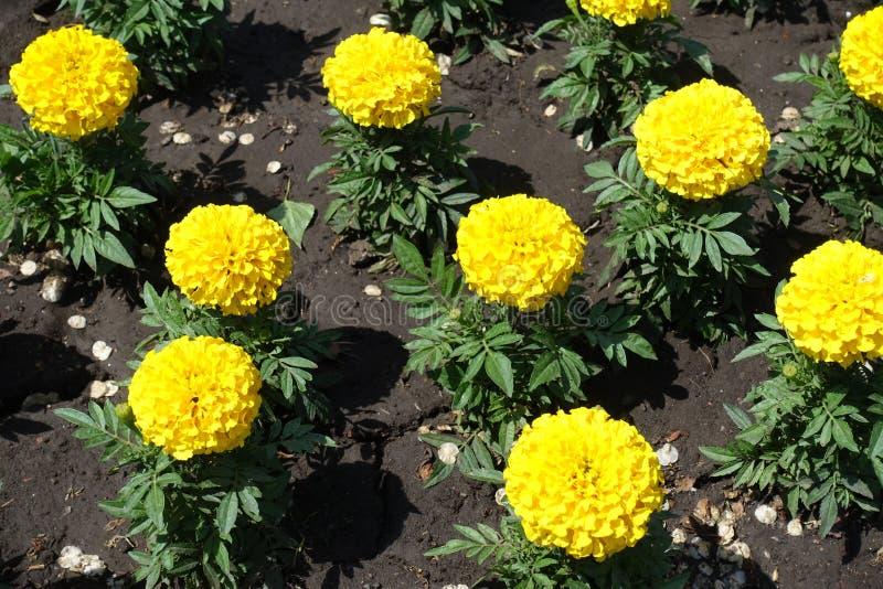 明亮的黄色花和万寿菊鳍类的叶子  免版税图库摄影