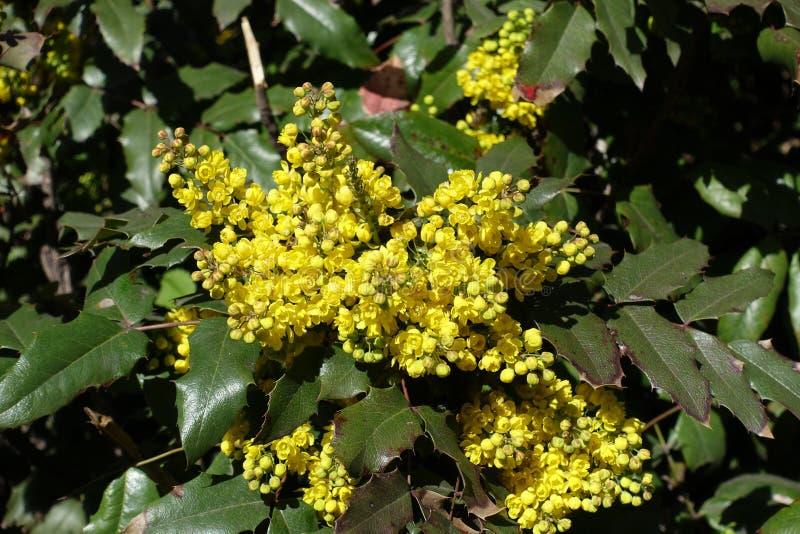 明亮的黄色花和葡萄霍莉宽鳍类的叶子  库存照片