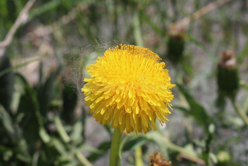 丁香黄色小�_图片 包括有 照亮, 植物群, 工厂, 黄色, 丁香, 开花, 开花的 - 1156
