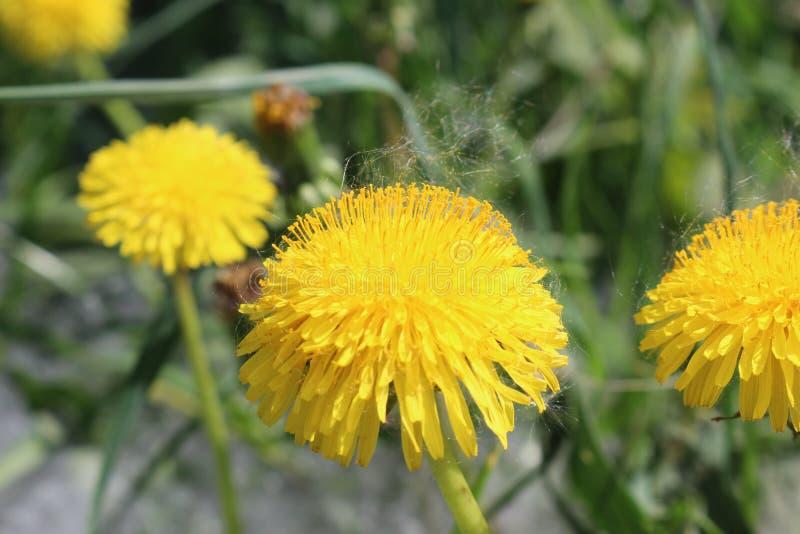 丁香黄色小�_图片 包括有 照亮, 黄色, 蓬松, 虚拟, 柔和, 庭院, 本质, 丁香