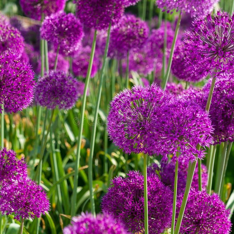 明亮的紫红色的花 库存图片