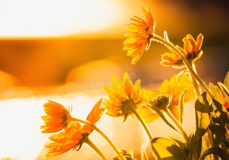 明亮的黄色花在阳光下 库存照片