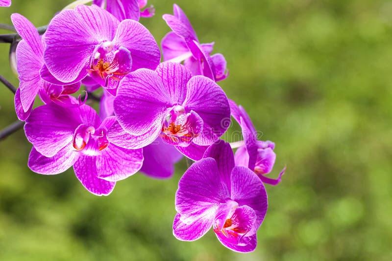 明亮的紫色野生兰花开花有绿色背景 库存照片