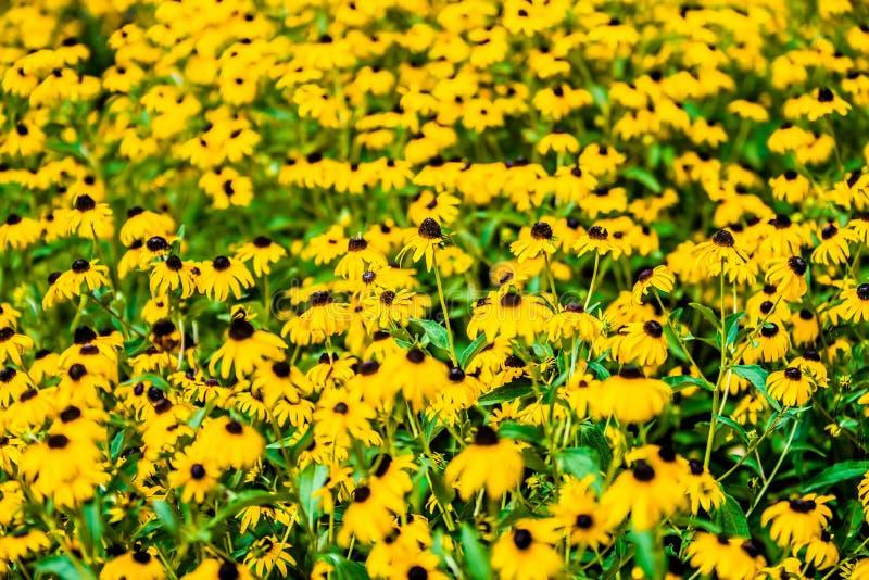 明亮的黄色黄金菊或黑眼睛的苏珊在加尔德角开花 图库摄影