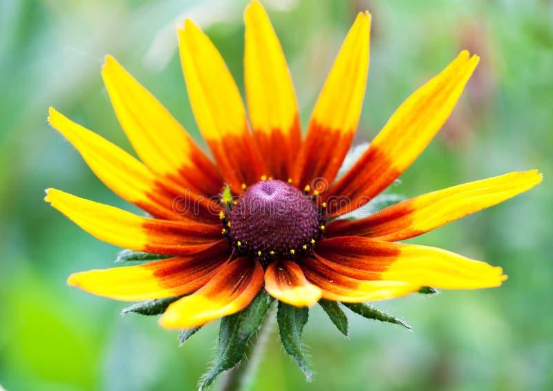 明亮的黄色黄金菊或黑眼睛的苏珊花在庭院里 免版税库存照片