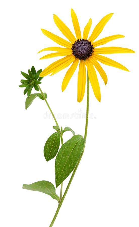 明亮的黄色黄金菊或黑眼睛的苏珊花 免版税库存图片