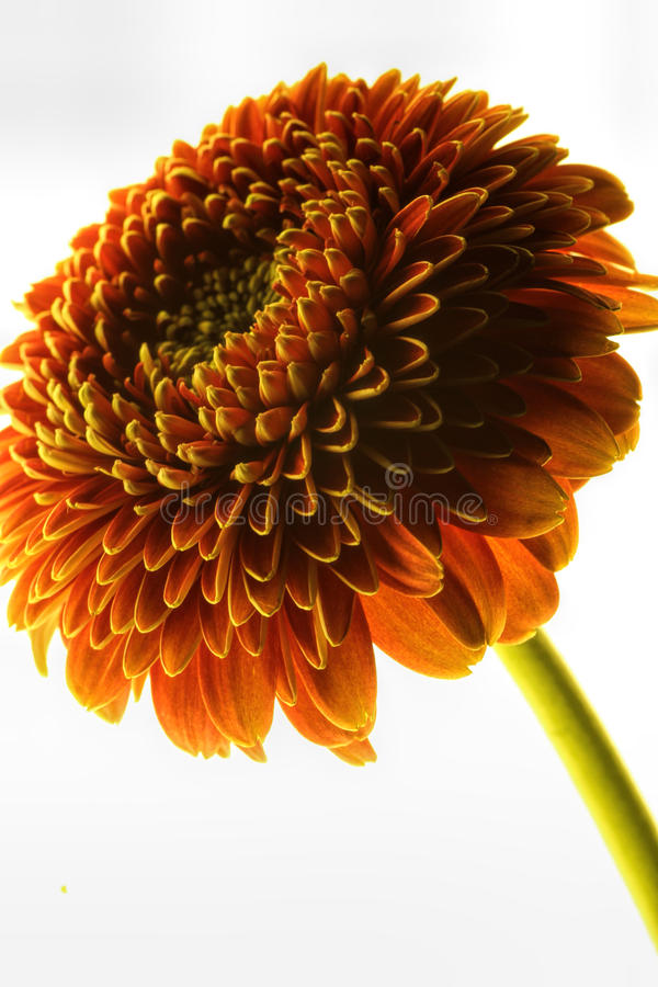明亮,美丽和引诱的发光的跳舞雏菊 免版税库存照片