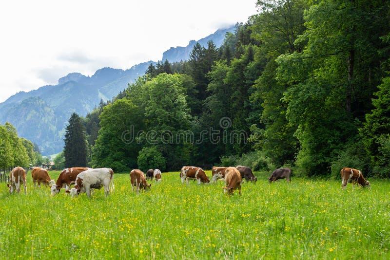 明信片视图 在一个绿色领域的母牛,吃草在母牛农夫的绿草,在领域的一个美好的母牛风景 库存照片