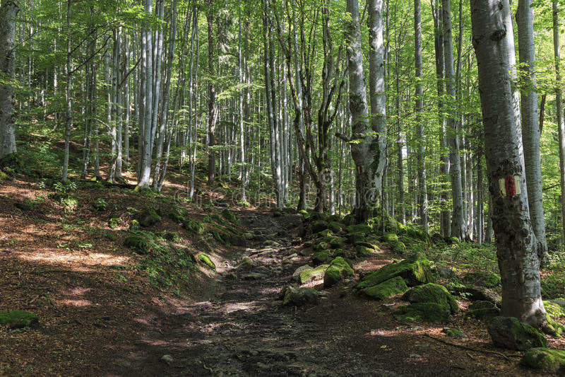 明显的道路穿过森林在夏天 库存图片