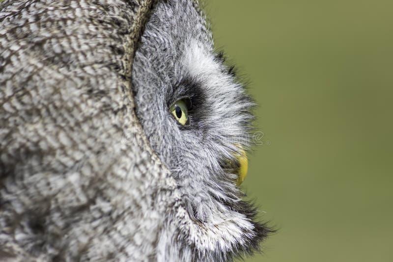 明智的老猫头鹰沉思 库存照片