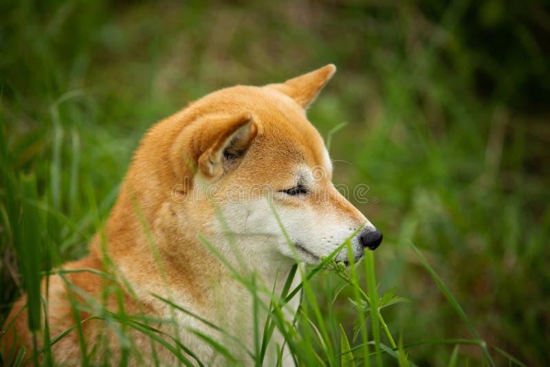 明智,逗人喜爱和美好的坐在绿色森林里的狗品种西伯利亚爱斯基摩人画象  免版税库存图片