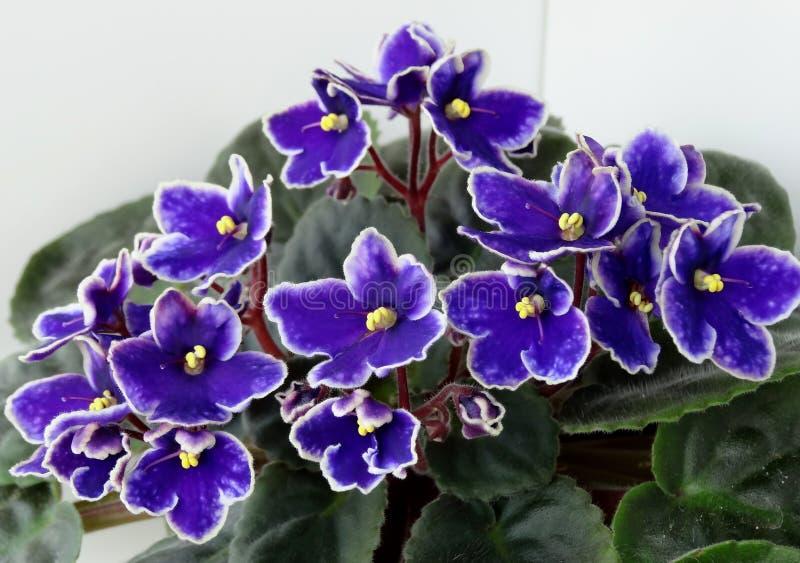 明暗差别强烈非洲紫罗兰,非洲堇 库存照片