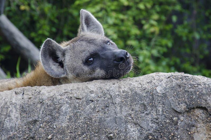 黎明鬣狗 免版税图库摄影