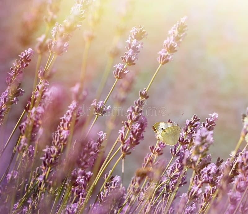 黄昏在花园-在淡紫色花的白色蝴蝶里 免版税库存图片