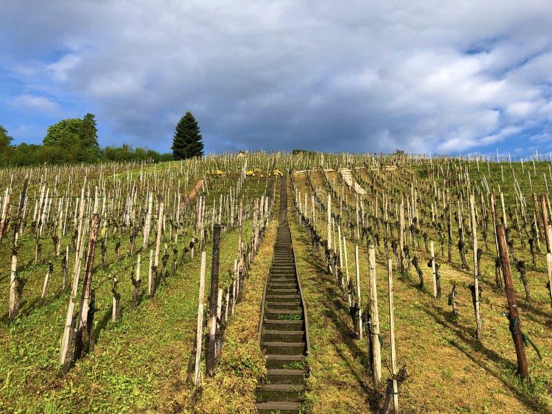 易上镜头的葡萄园在Buchberg村庄  库存图片