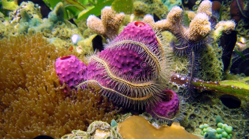 易碎的珊瑚海绵星形 库存照片