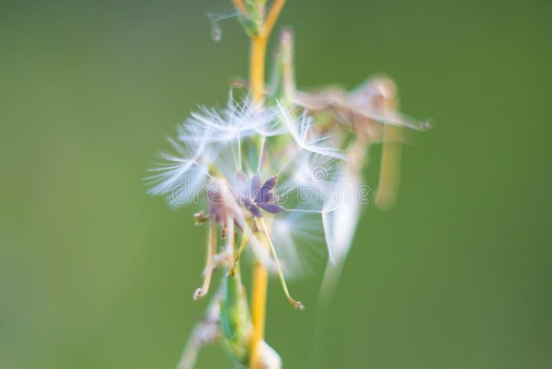 易碎的蒲公英绒毛,秋天抽象,宏指令 免版税库存图片