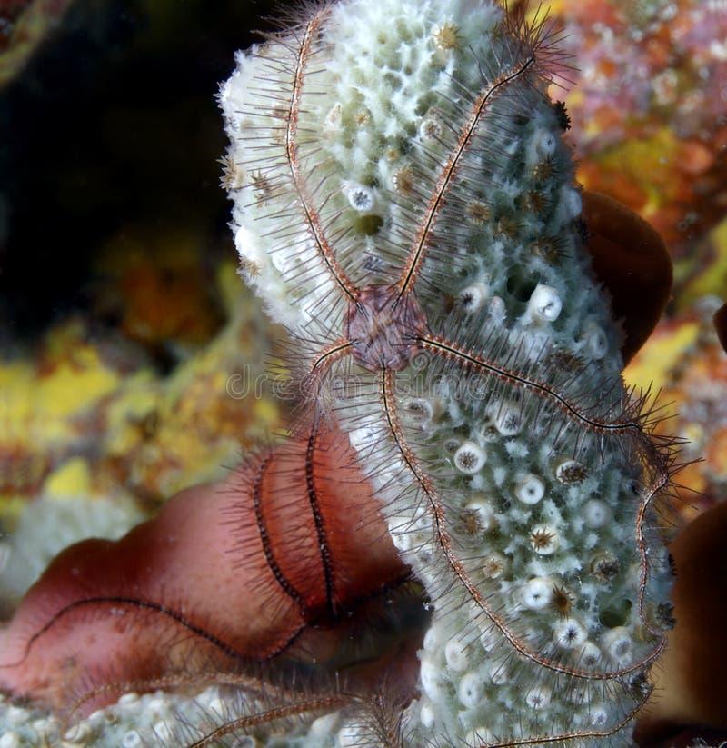 易碎的ophiothrix海绵星形suensonti 免版税库存图片